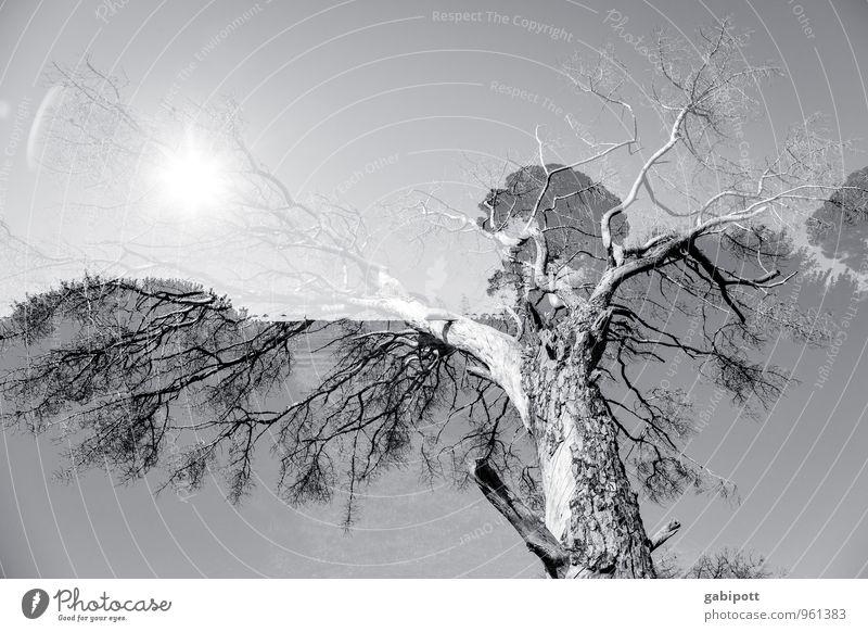 baum.sonne.doppelt Umwelt Landschaft Schönes Wetter Pflanze Baum außergewöhnlich grau weiß beweglich Leben Doppelbelichtung Lichtspiel Schwarzweißfoto