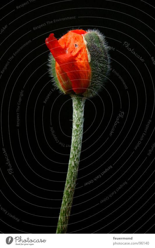 Noch schläft er. Pflanze Blüte schlafen Mohn Blütenknospen aufwachen Ausbruch
