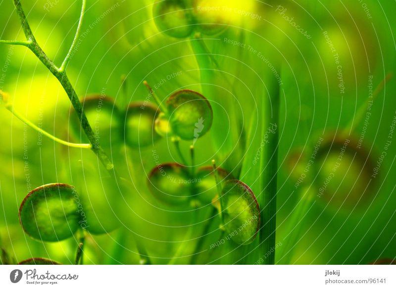 Grünlinge II keine Ahnung Pflanze Fortpflanzung Wiese Blume Blüte grün gelb rund Stengel klein Samen flach Natur Fensterscheibe