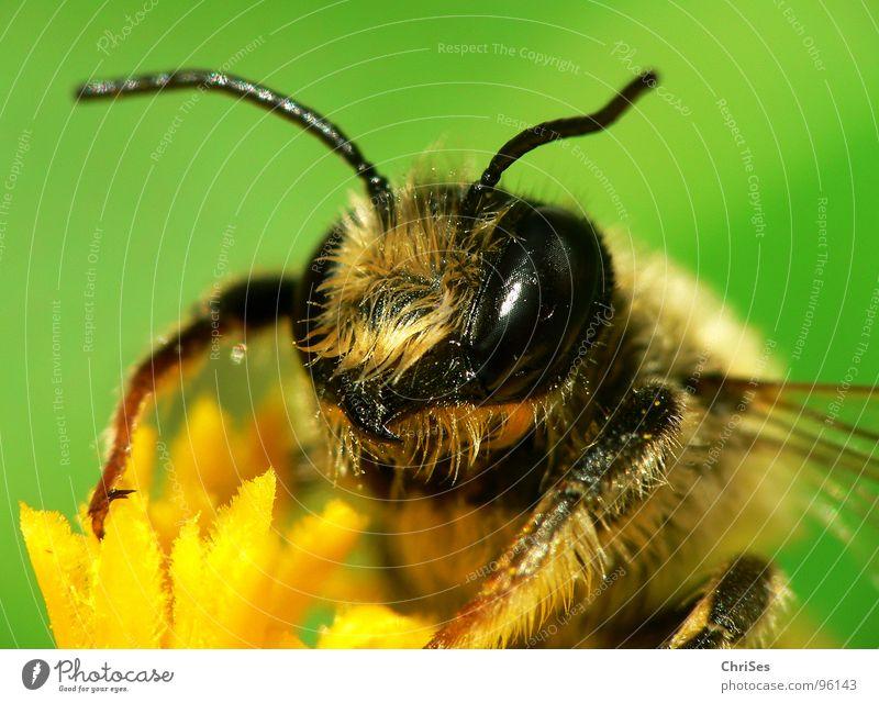Erdbiene ( Andrena florea ) 01 Sandbiene Biene Wespen Insekt Honig fleißig gelb schwarz grün gestreift Sommer Frühling Fühler Tier Sammlung Makroaufnahme