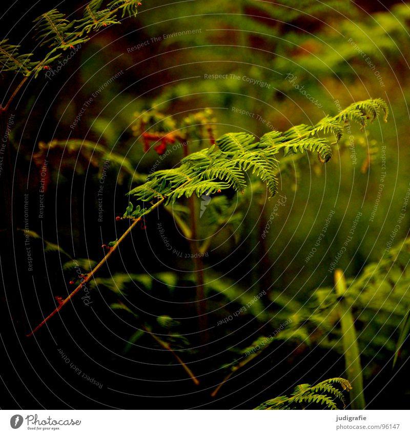 Farn Natur grün Pflanze Sommer Wald Leben Wärme Kraft Wachstum Romantik Physik Faust Trieb Echte Farne gedeihen Jungpflanze