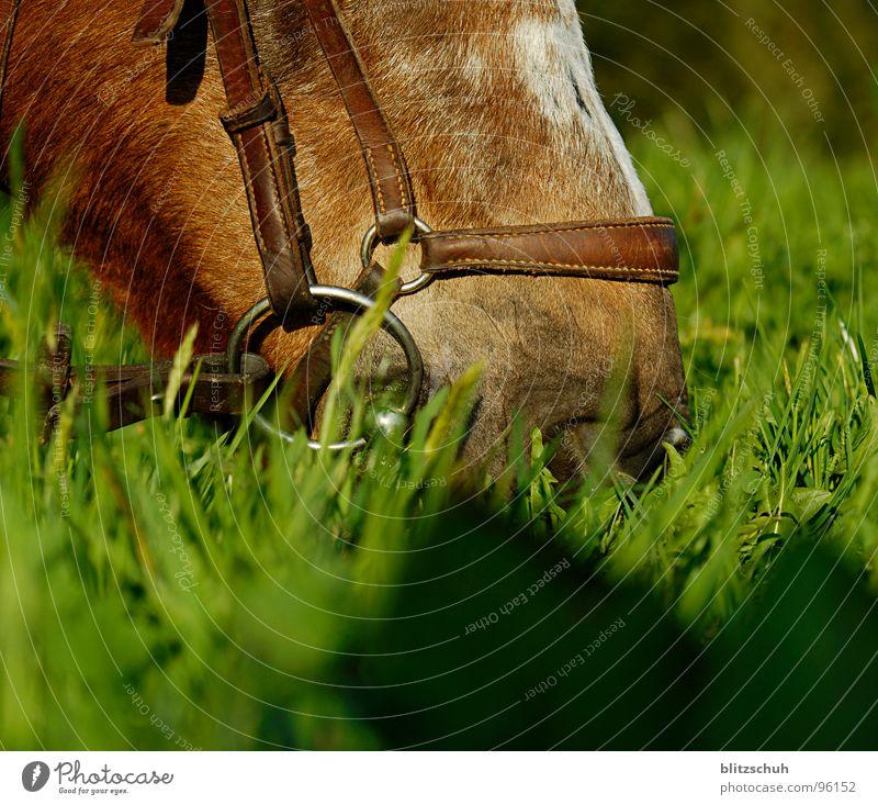 lecker abendbrot Pferd Abendessen Schnauze Futter Ernährung Fressen Gras Schweiz Abendsonne fein Säugetier Reitsport Berge u. Gebirge Mund Nase