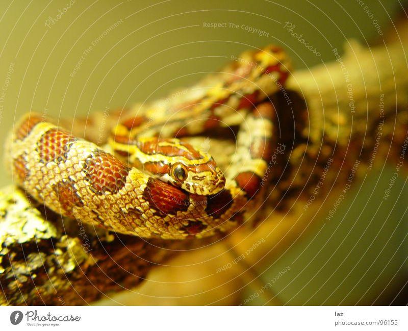 Schlange auf Ast weiß grün schön schwarz Tier Leben dunkel Sand Farbstoff braun Haut Hintergrundbild Kraft gefährlich bedrohlich Tierhaut