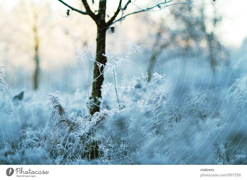 frostig schön. Umwelt Natur Landschaft Pflanze Sonne Winter Wetter Schönes Wetter Eis Frost Baum Blume Giersch Dill Feld Wald frisch kalt kuschlig natürlich