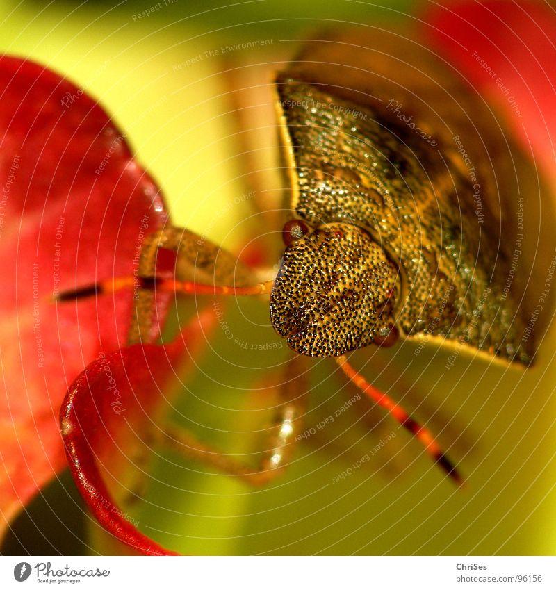 Beerenwanze (Dolycoris baccarum) 01 Wanze Insekt braun Tier Blume Blütenblatt Fühler Makroaufnahme Nahaufnahme Sommer rotgelb Pflanzensaftsauger Auge ChriSes