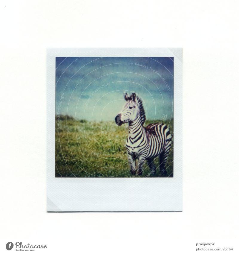 TV Afrika Polaroid Zebra grün gestreift Säugetier blau Wildlife Pferd für Kontrastliebhaber