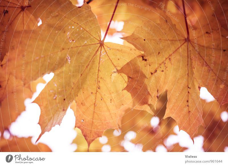 Zwillinge? Natur Pflanze Herbst Baum Blatt alt fallen Kitsch natürlich braun Ahorn Autum Unschärfe