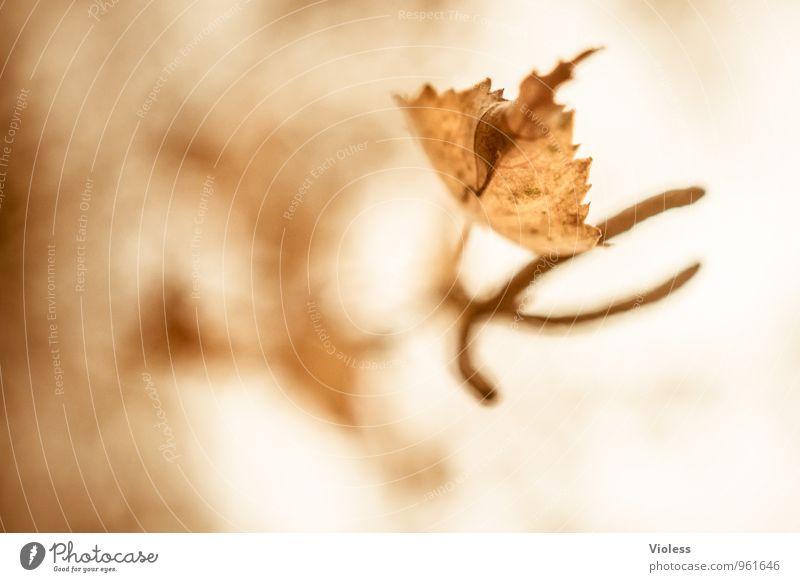 Herbstrückblick II Natur alt Pflanze Baum Blatt Umwelt natürlich braun verblüht Birke Fruchtstand
