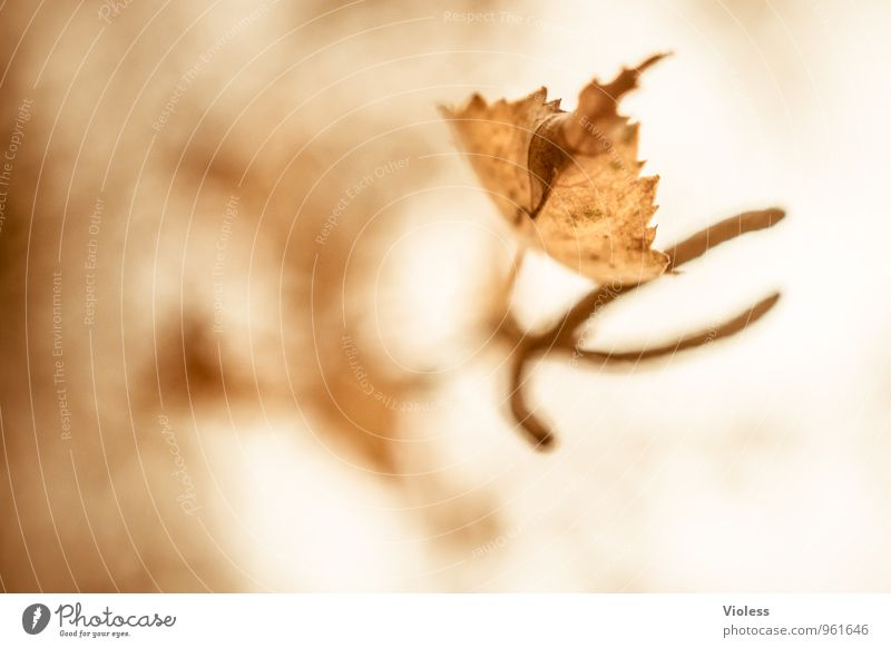 Herbstrückblick II Natur alt Pflanze Baum Blatt Umwelt Herbst natürlich braun verblüht Birke Fruchtstand