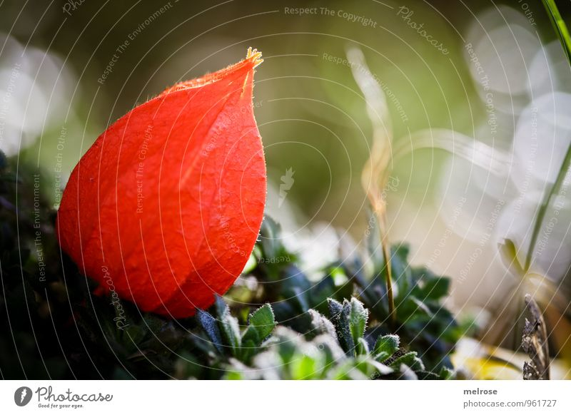 Bokehphysalis Natur Pflanze grün weiß Erholung Wald Herbst Blüte außergewöhnlich braun orange Feld Wachstum Erde leuchten Blühend