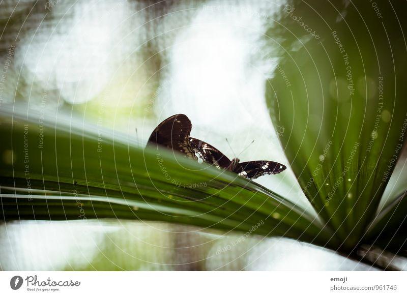 butterfly Natur Pflanze grün Tier Umwelt natürlich Wildtier Schmetterling