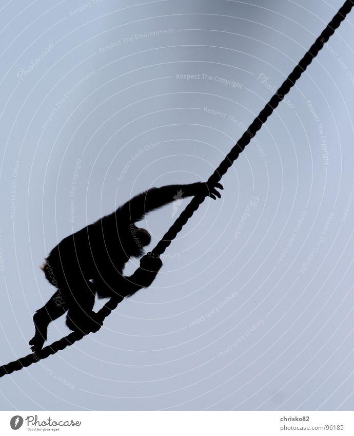 Schimpanse Affen Schimpansen Zoo Menschenaffen toben Baum Gegenlicht Liane Afrika Zoomeffekt Unsinn heiß Sonntag Silhouette Säugetier Klettern Seil Himmel