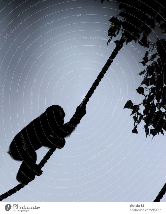 Schimpanse II Affen Schimpansen Zoo Menschenaffen toben Baum Gegenlicht Liane Afrika Unsinn heiß Sonntag Silhouette Säugetier Klettern Seil Himmel cheetah