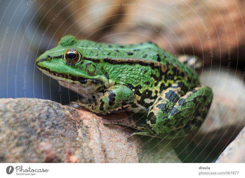 Teichfrosch sitzt auf einem Stein Tier Frosch Amphibie Wasserfrosch Auge Lurch sitzen grün schwarz geduldig ruhig Echter Frosch Pelophylax Pelophylax esculentus