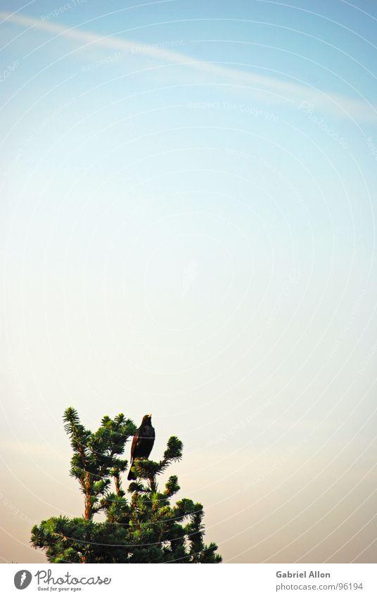 Minimal mit Meise Tanne Baum Amsel Gegenlicht Wolken Kondensstreifen grün schwarz dunkel Außenaufnahme Zoomeffekt Vogel Himmel Abenstimmung blau hell