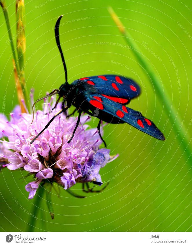 *schlürf* Insekt Blume rosa schwarz rot grün Gras Fühler Stengel Wiese Staubfäden Schmetterling saugen Wachstum Blüte süß flattern ruhig Tier Pflanze Frühling