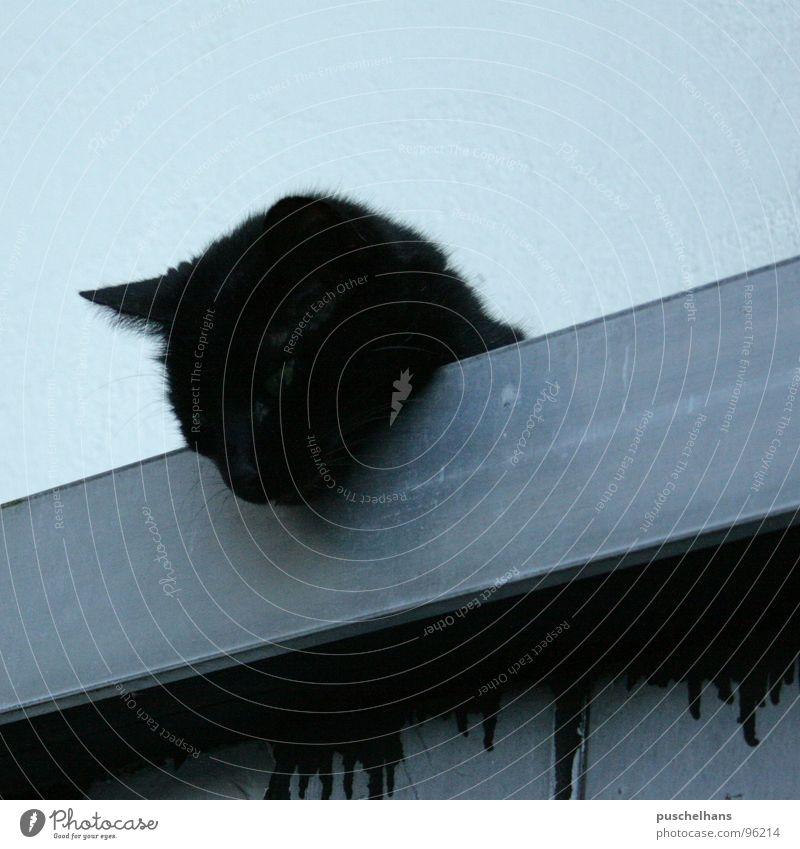 die Katze auf dem Blechdach blau schwarz Dach Fell Säugetier diagonal Desaster Schüchternheit freilebend Herumtreiben Volksglaube Straßenkatze