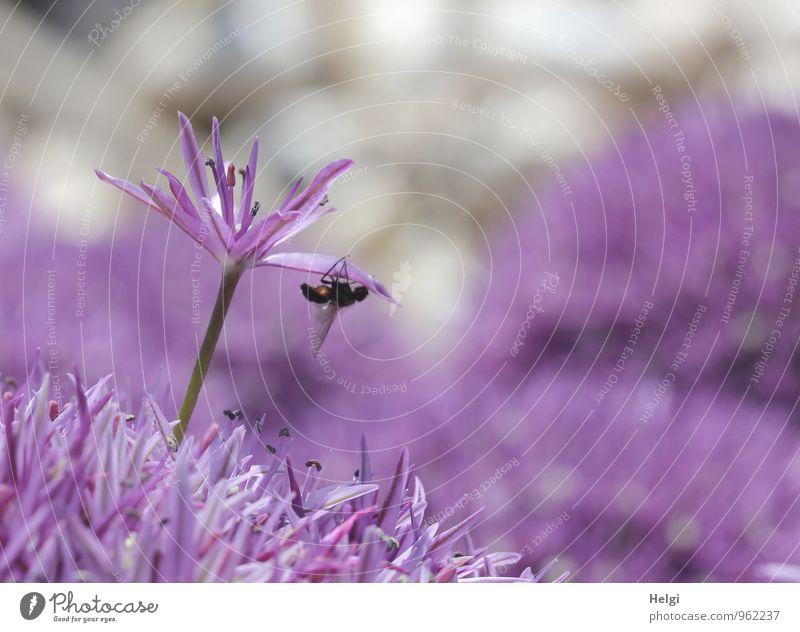 Alliumblüte... Umwelt Natur Pflanze Frühling Blume Blüte Garten Tier Fliege 1 Blühend Wachstum ästhetisch außergewöhnlich schön einzigartig klein natürlich grau
