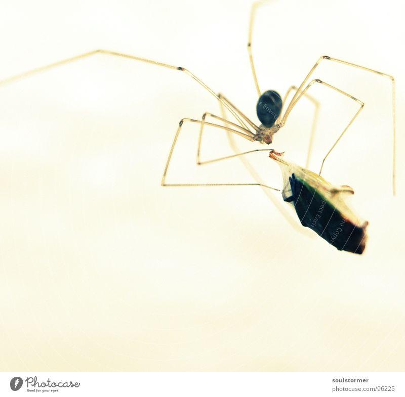 Fastfood Spinne Insekt Wanze Futter Spinnennetz Licht 8 gefährlich Ekel Mittagessen Tier fangen gefangen Makroaufnahme Nahaufnahme Beine bedrohlich Spider Angst