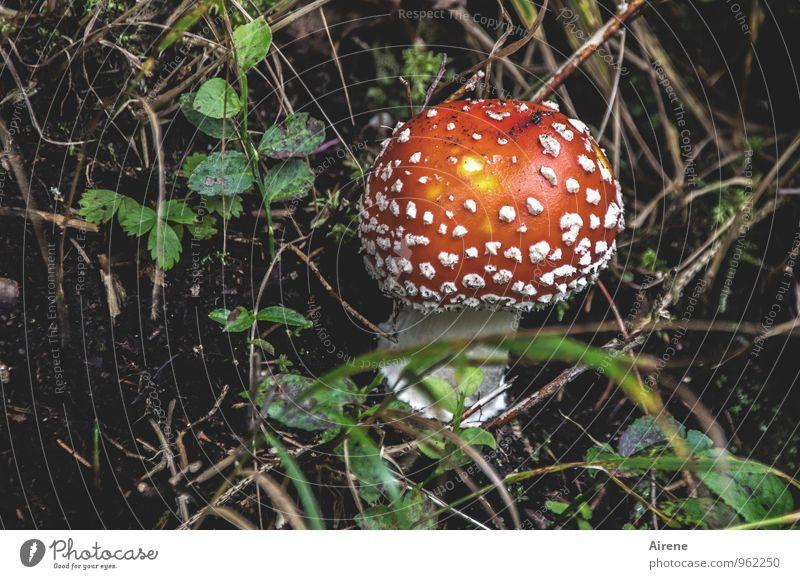 viel Glück zum Geburtstag, montecarlo! Pflanze grün weiß rot Wald natürlich Glück Erde Fröhlichkeit Symbole & Metaphern Pilz Gift Wildpflanze Pilzhut Fliegenpilz Warnfarbe