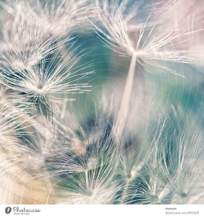 Schirmflieger Natur Pflanze Sträucher Wildpflanze Samenpflanze Löwenzahn Haarflieger Fortpflanzung Unkraut natürlich weich blau türkis weiß Wachstum zart