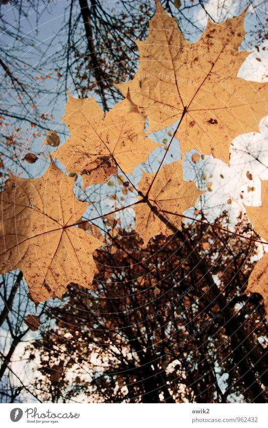 Sonnenschirm Umwelt Natur Pflanze Himmel Wolken Herbst Baum Blatt Wildpflanze Ahornblatt Ahornzweig Zweig dehydrieren Wachstum dünn authentisch Zusammensein