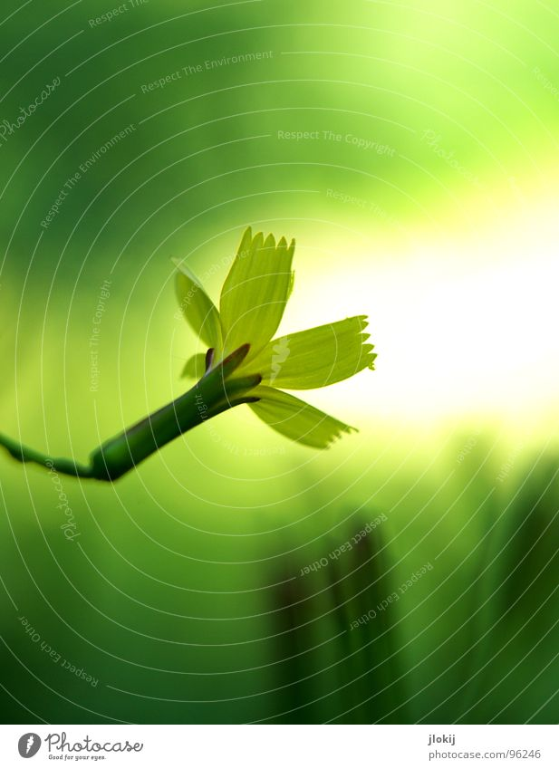 Scheinwerfer Blume Blüte Wachstum gelb grün Pflanze Sträucher Staubfäden Unschärfe schön Gras Wiese Licht Beleuchtung Lampe Signal Blühend Natur Leben Stengel