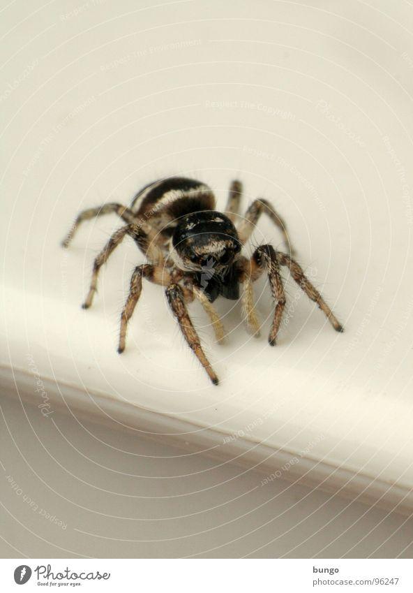 Spring nicht! Auge klein Angst Ekel Spinne Gliederfüßer Mandibel Fresswerkzeug Kieferklaue Zebraspringspinne