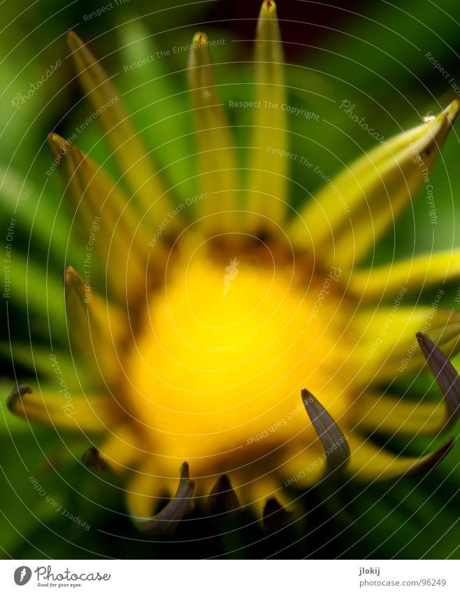 Sun Blume Blühend Unschärfe Pflanze Wiese Lebewesen gelb grün Beleuchtung Blütenblatt Hintergrundbild Frühling Sommer verblüht nah Makroaufnahme Natur Garten