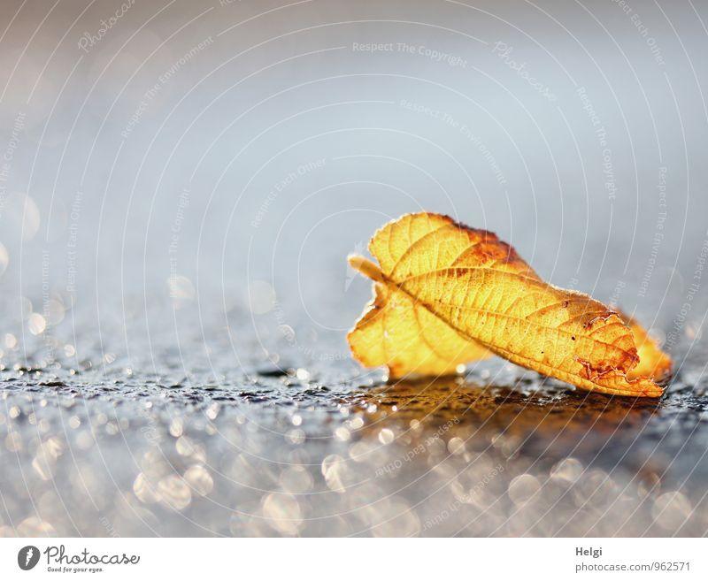Herbstlicht... Umwelt Natur Pflanze Blatt Verkehrswege Straße Asphalt glänzend leuchten liegen ästhetisch außergewöhnlich einfach schön einzigartig nass