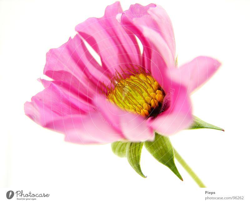 Kleine Schönheit erwacht Farbfoto Makroaufnahme Hintergrund neutral Sommer Natur Pflanze Blume Blüte Blühend rosa Vergänglichkeit Schmuckkörbchen Entwicklung