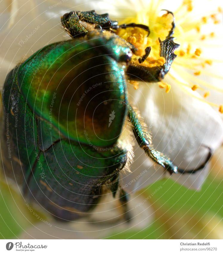 Käfer 1 weiß grün Pflanze Ernährung Tier Arbeit & Erwerbstätigkeit Blüte Beine glänzend Lebensmittel fliegen gold Luftverkehr Insekt Fressen