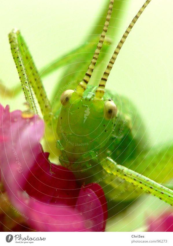 Punktierte Zartschrecke_02 grün Sommer Auge Tier springen Gras Blüte Beine rosa Insekt Lebewesen Fühler hüpfen Heuschrecke Heimchen Punktmuster