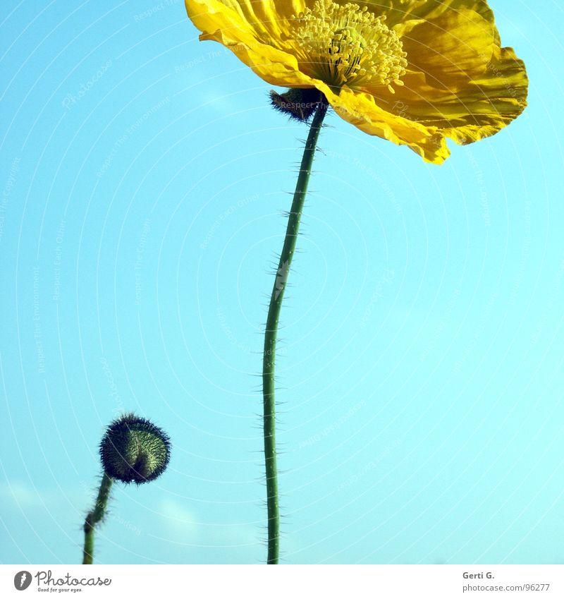 junior Natur Himmel Blume blau Sommer gelb Blüte Beleuchtung Kunst klein groß zart außergewöhnlich Stengel Mohn