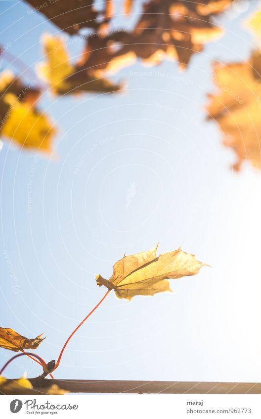 Letzte Herbstblätter Natur Schönes Wetter Blatt Ahornblatt alt hängen leuchten dehydrieren eckig natürlich gelb gold Stimmung Mut schön Traurigkeit Einsamkeit