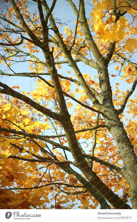 Herbstbaum 1.0 Umwelt Natur Pflanze Himmel Schönes Wetter Baum Blatt Park Feld Wald ästhetisch Zufriedenheit Idylle Stimmung Herbstlaub Ast Zweig Farbfoto