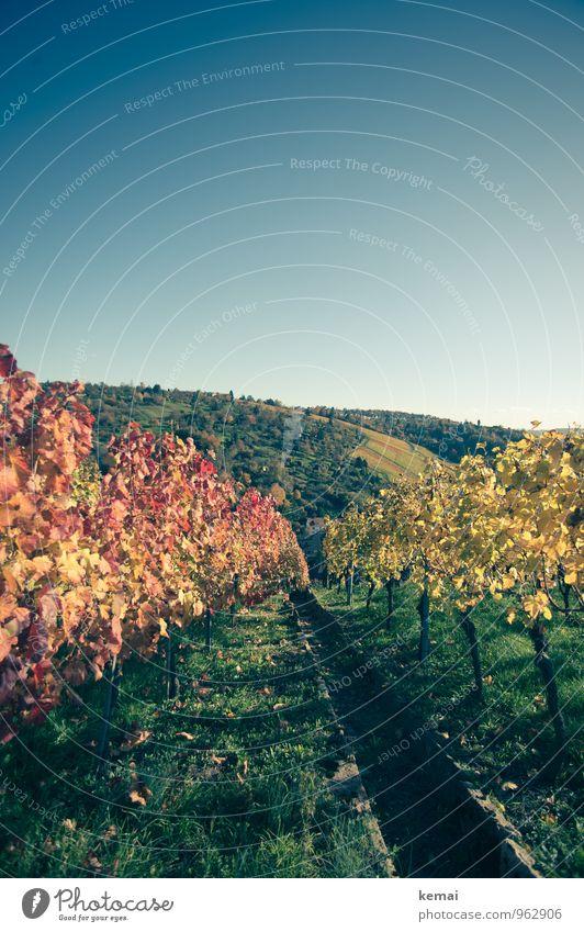 Rotwein vs. Weißwein Umwelt Natur Landschaft Pflanze Wolkenloser Himmel Sonnenlicht Herbst Schönes Wetter Sträucher Nutzpflanze Wein Weinberg Feld Hügel