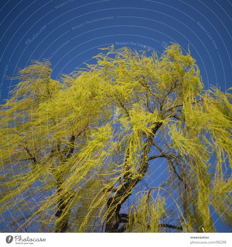 Mein Freund der Baum grün Frühling Weide Wind Perspektive Kontrast blau Bewegung