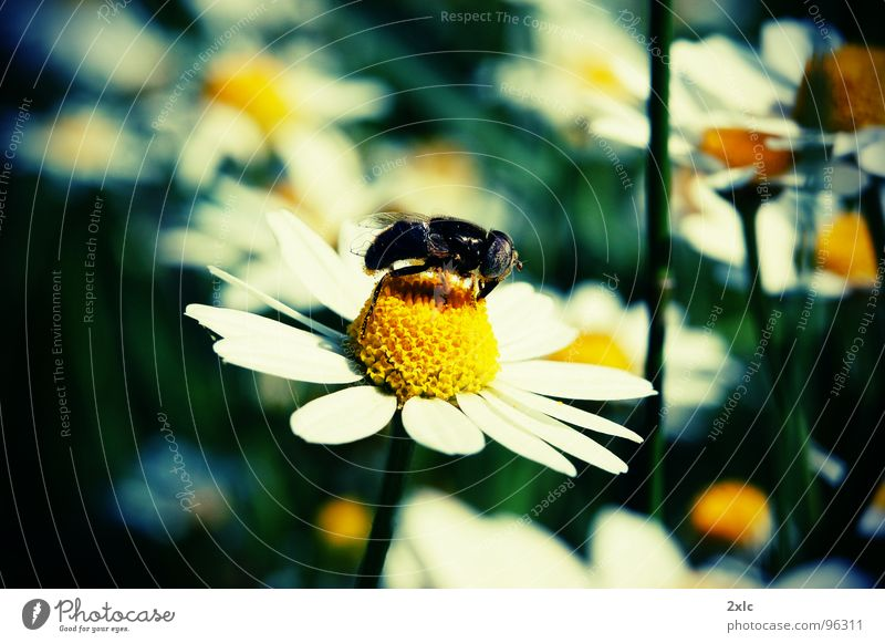 Flower bee Natur gelb