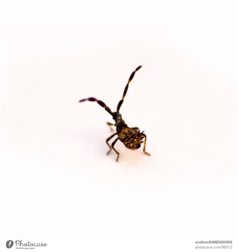 Stachelkäfer II weiß gelb braun retro Insekt Spitze Käfer Fühler Stachel Wanze Retroring
