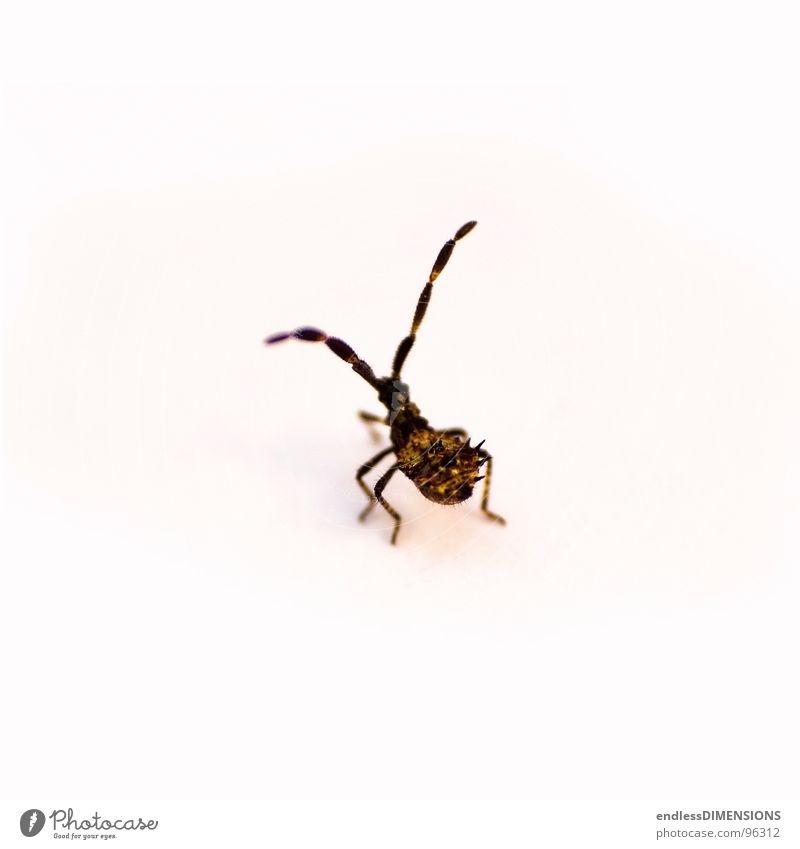 Stachelkäfer II weiß gelb braun retro Insekt Spitze Käfer Fühler Wanze Retroring