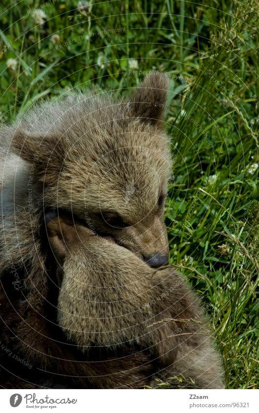 geschwisterliebe Tier Liebe Kopf Tierjunges Zusammensein Wildtier gefährlich niedlich weich Fell Freundlichkeit Küssen harmonisch kuschlig Bär Kuscheln