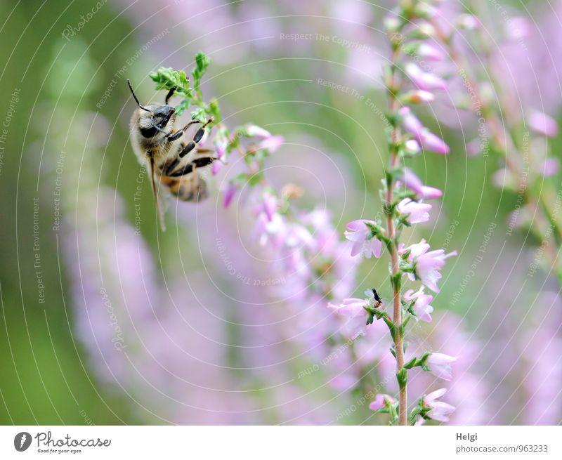 Heidehonigsammlerin... Natur Pflanze grün Sommer Tier Umwelt Leben Blüte natürlich klein braun rosa Arbeit & Erwerbstätigkeit Wachstum Idylle authentisch