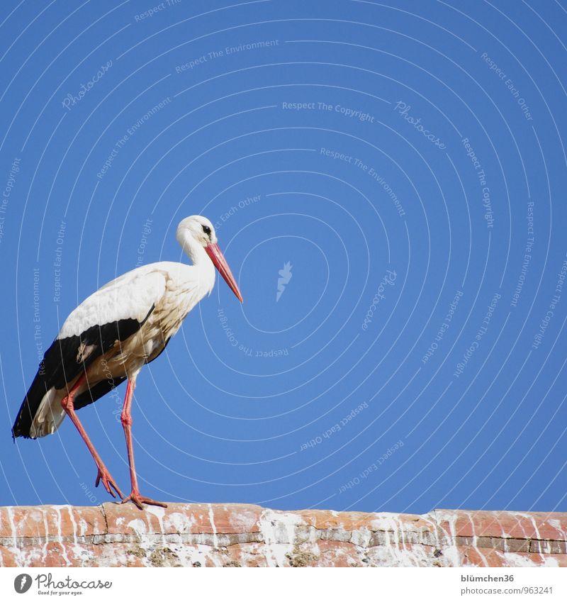 fliegen | alles zu seiner Zeit Tier Wildtier Vogel Storch Weißstorch Schreitvögel Federvieh Zugvogel ästhetisch elegant natürlich schön gehen Gleichgewicht
