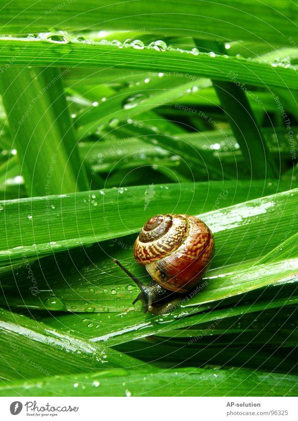 Schnecke *4 Landlungenschnecke Tier Haus Schneckenhaus schleimig Schleim Fühler krabbeln langsam Geschwindigkeit Spirale Gras zurückziehen zerbrechlich Zwitter