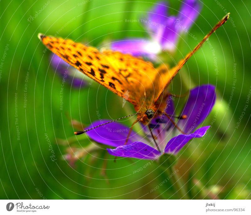 Zerschmetterling Schmetterling Muster Insekt flattern Fühler Blume Blüte Staubfäden Sammlung Stengel Pflanze Ernährung grün violett Tier Frühling