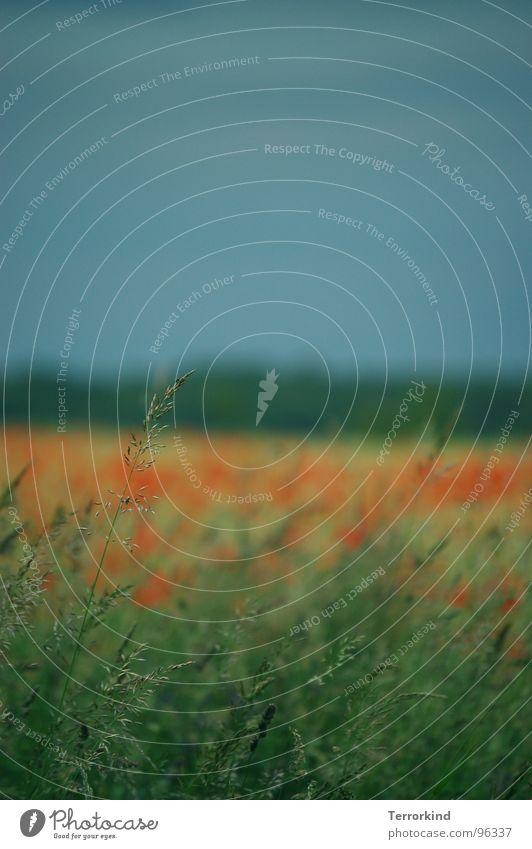Einzelkampf Gras Halm Feld Wiese Mohn Unschärfe klein außergewöhnlich Genauigkeit einzigartig grün rot Regenwolken groß Ferne Unendlichkeit Sommer Himmel Wind