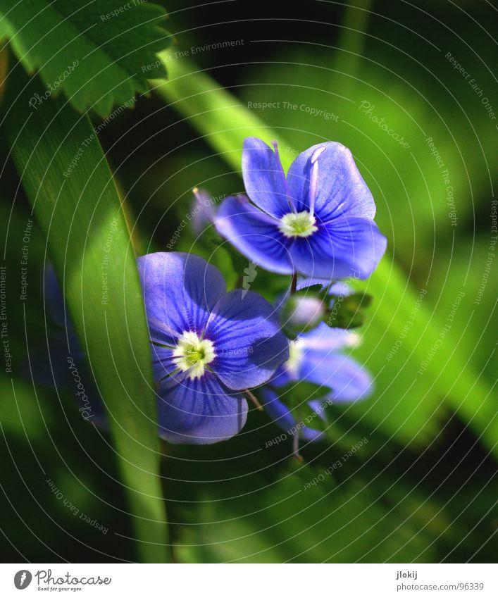 Vergessen... Blume blau Sommer Farbe Wiese Blüte Gras Frühling Rasen Afrika Blühend Jahreszeiten Australien Blütenknospen Pollen Saison