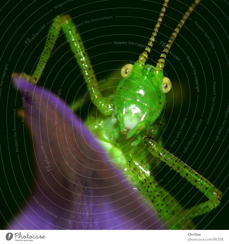Punktierte Zartschrecke_03 grün Sommer schwarz Auge Tier springen Gras Blüte Beine Insekt violett Lebewesen Fühler hüpfen Heuschrecke Heimchen