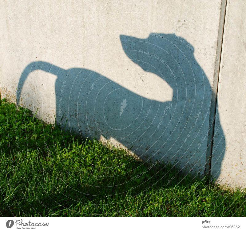 Schatten-Hund - 1 Dalmatiner Wiese Wand Mauer Tier Haustier Schattenspiel Licht Säugetier dog chien dalmatian dalmation Selbstportrait sonnne Silhouette